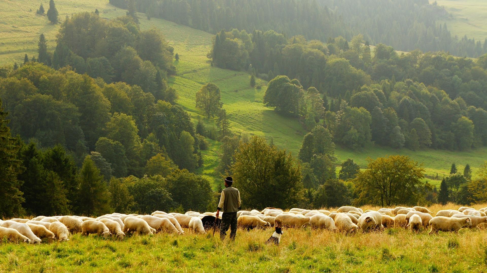 sheep 690198 1920